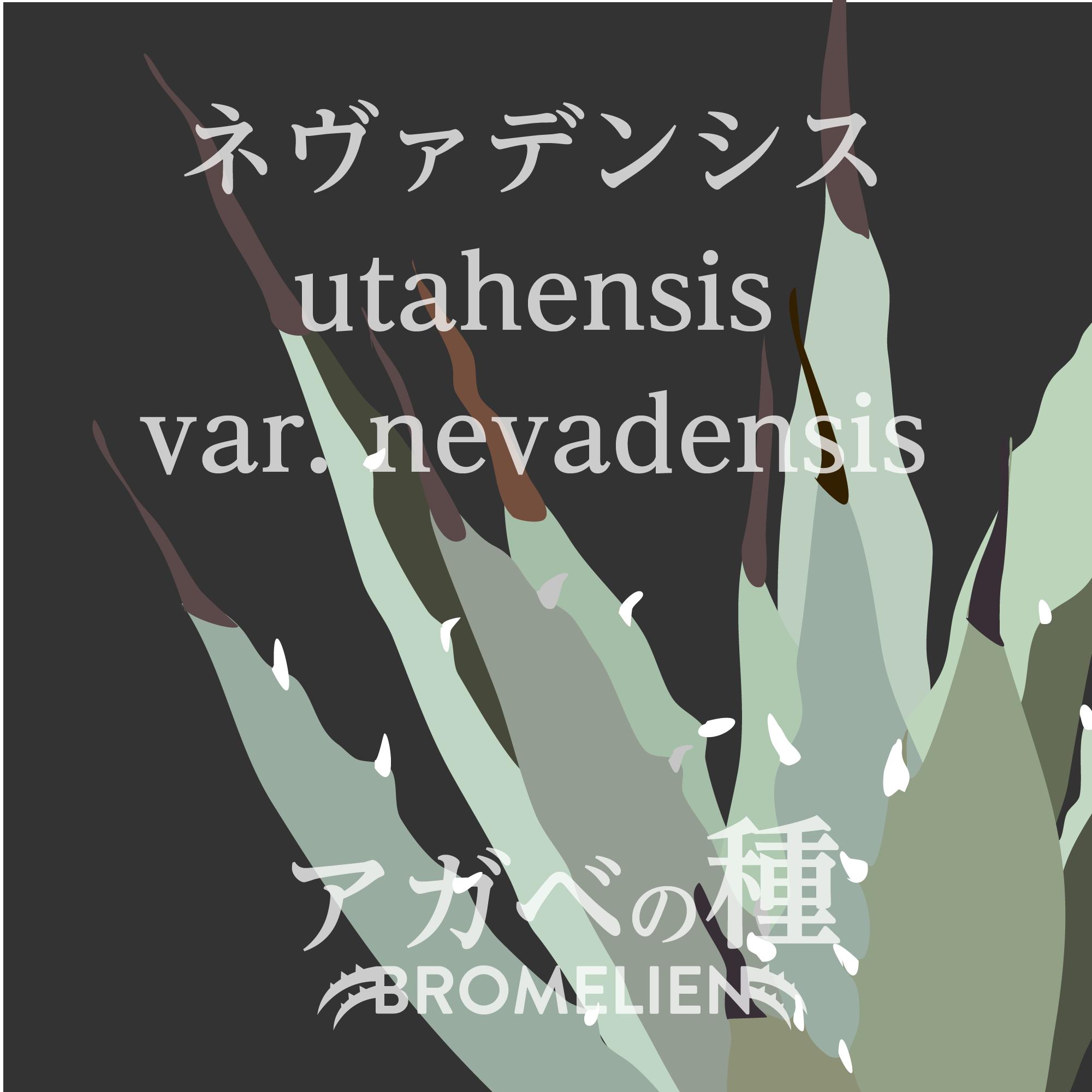 アガベ種子 ユタエンシス ネバデンシス nevadensis 20個