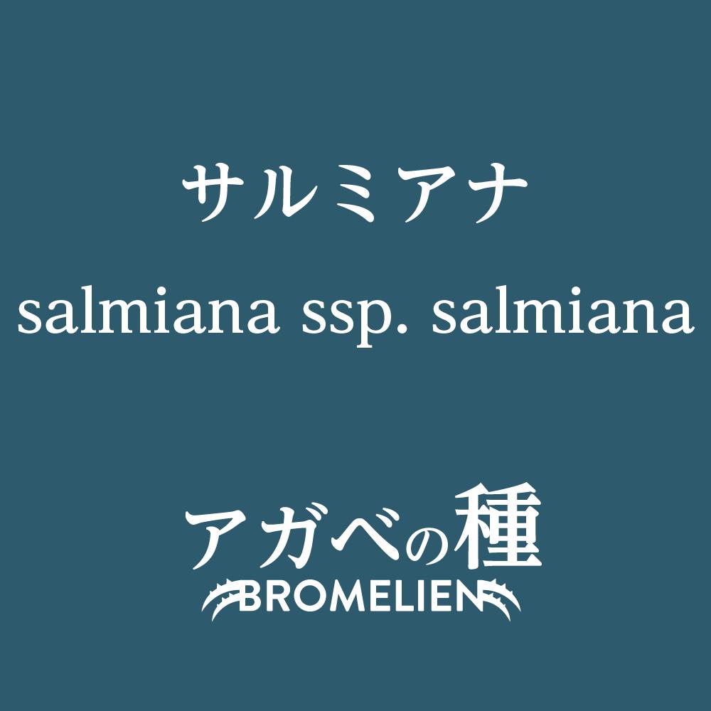 アガベ種子 サルミアナ salmiana subsp. salmiana 10粒