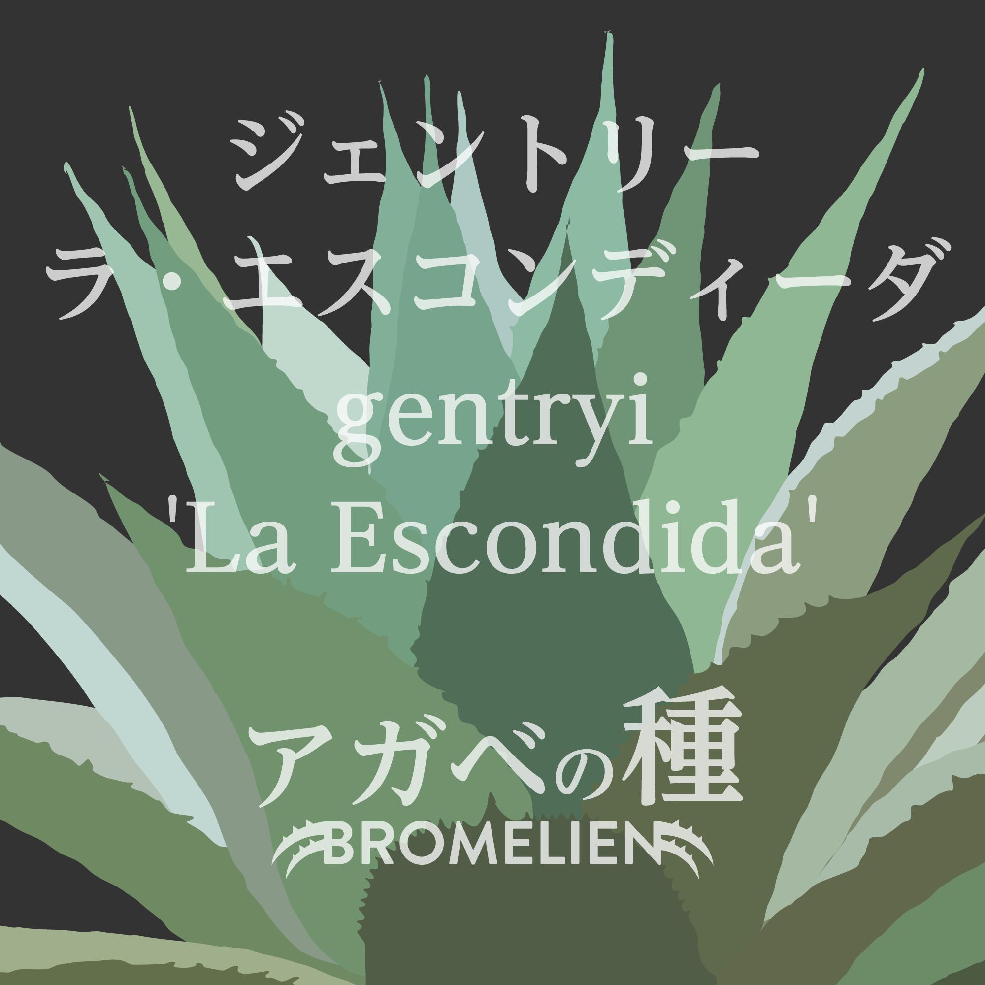 アガベ種子 gentryi 'La Escondida' ジェントリー  ラ・エスコンディーダ 20個