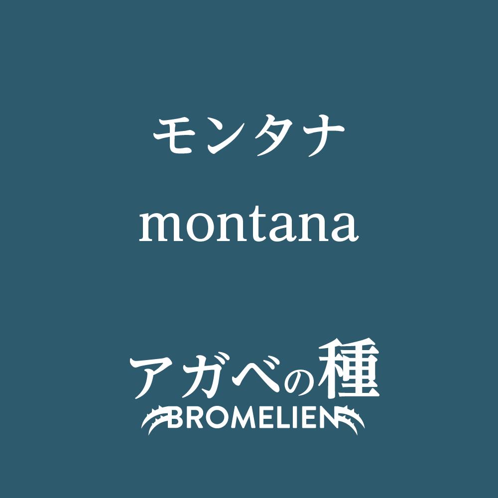 アガベ種子 モンタナ montana 10粒