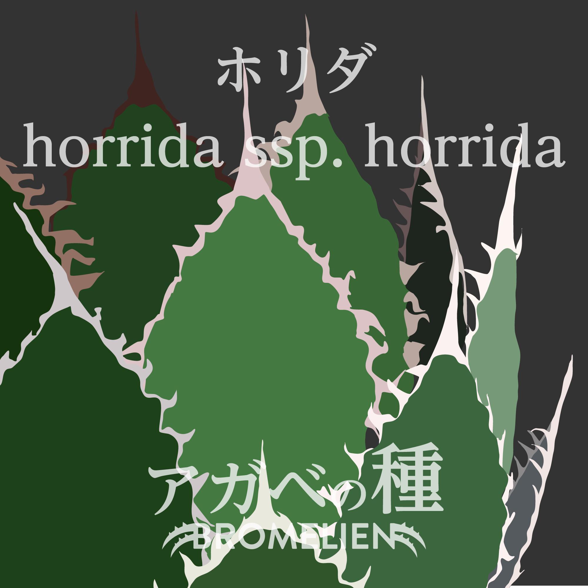 アガベ種子 ホリダ horrida subsp. horrida 20個