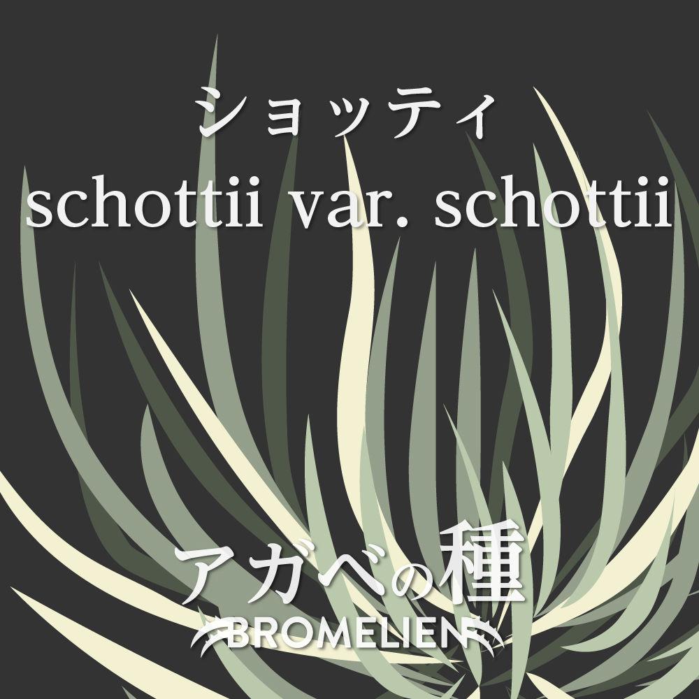 アガベ種子 ショッティ schottii vart. schittii 20個