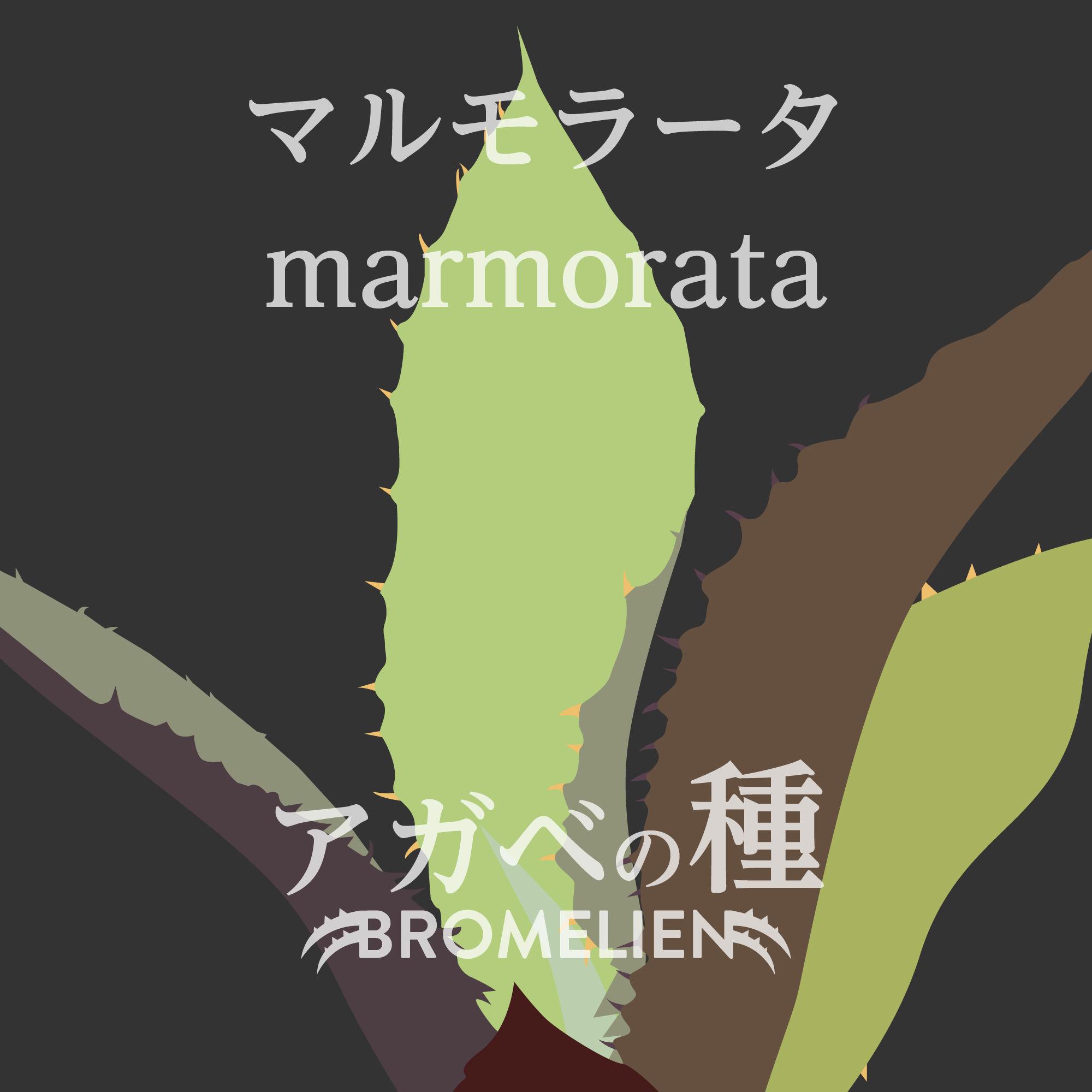 アガベの種 marmorata マルモラータ 20個