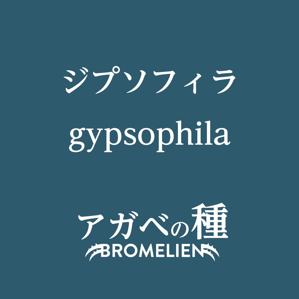 アガベ種子 ジプソフィラ gypsophila 20個