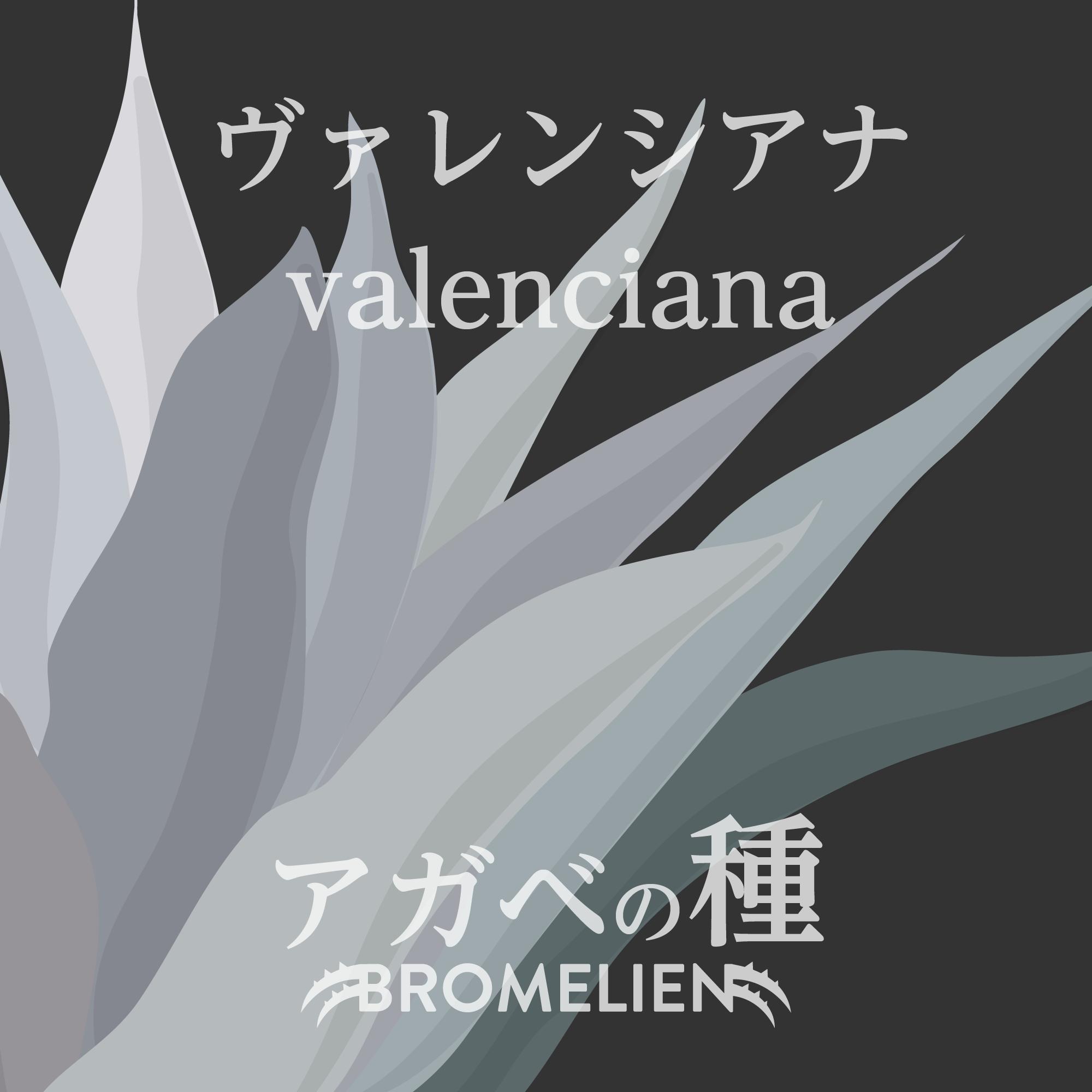 アガベの種 valencianaトヴァレンシアナ 20個