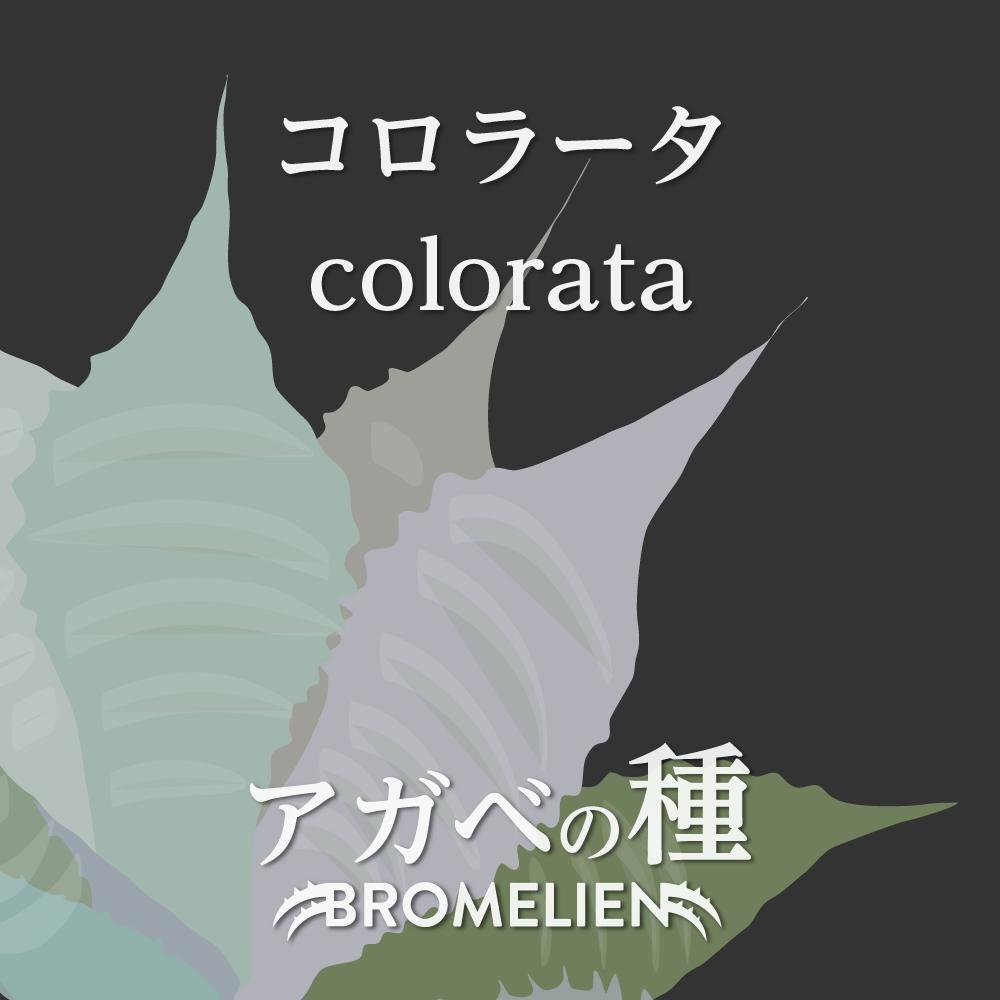 アガベの種 コロラータ colorata 20個