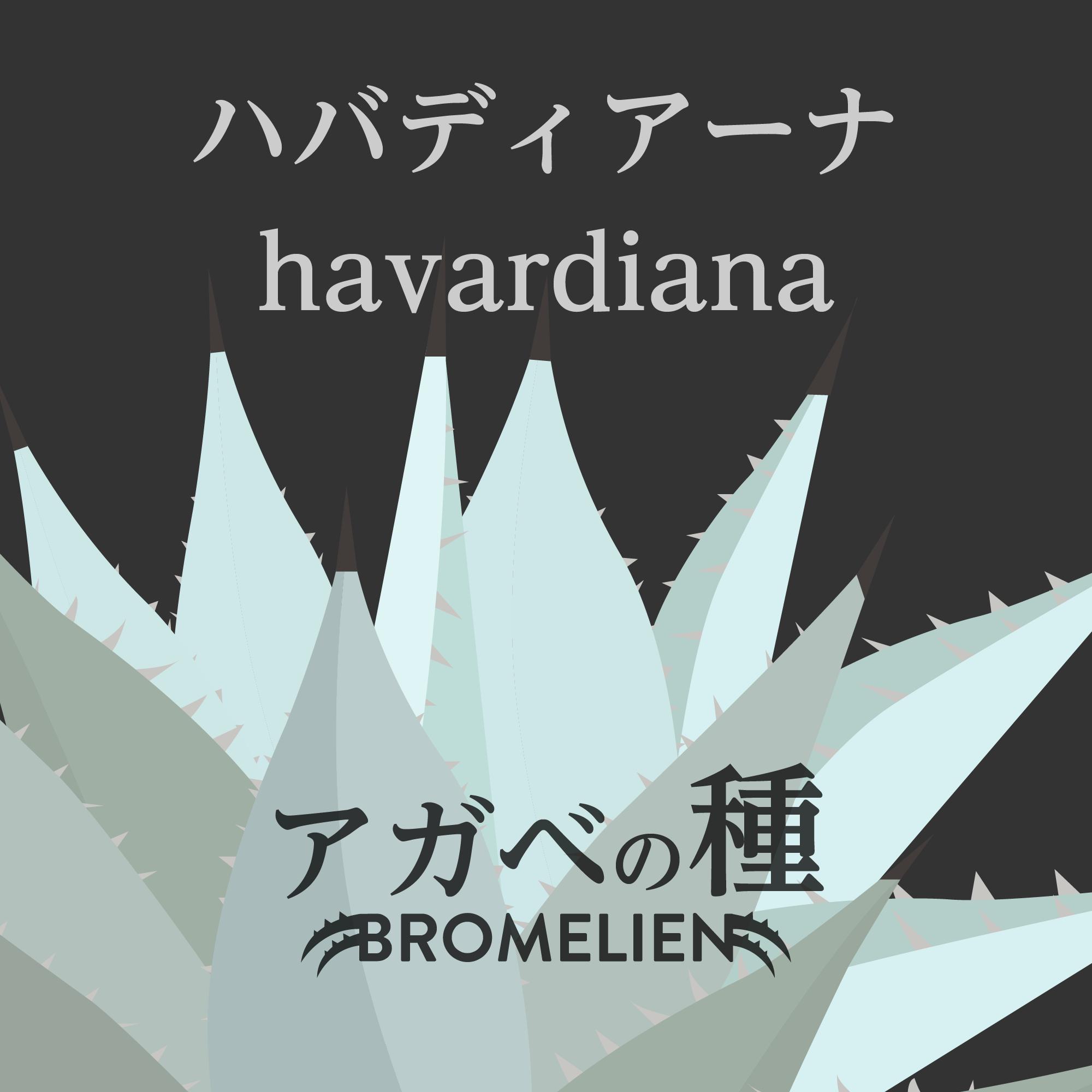 アガベの種 havardiana ハバディアーナ 20個