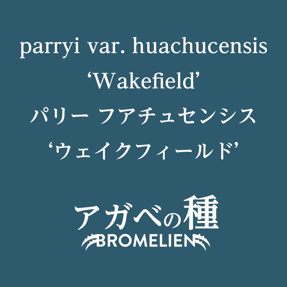 アガベ種子 ウェイクフィールド parryi var. huachucensis 'Wakefield' 10粒