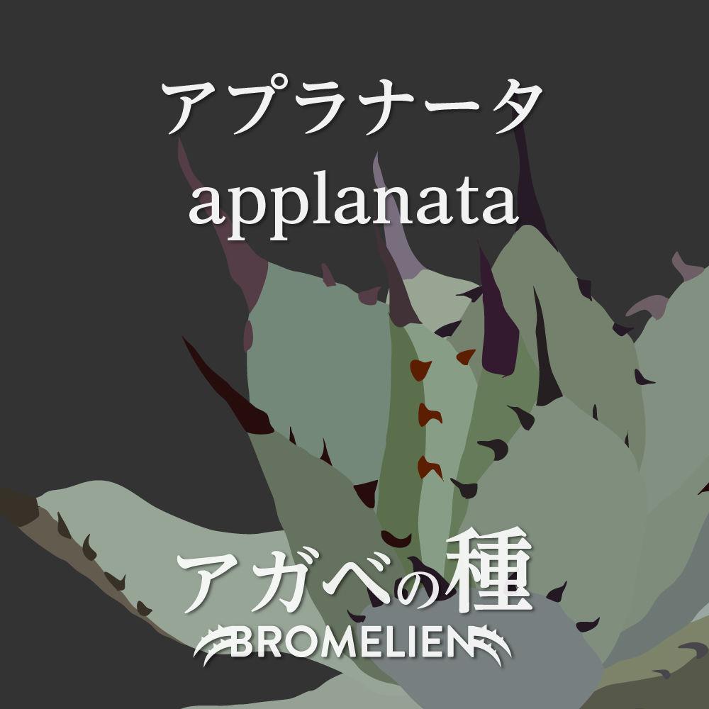 アガベ種子 アプラナータ applanata 20個
