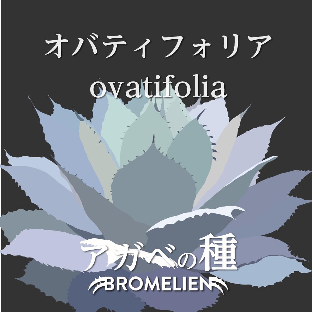 アガベ種子 オバティフォリア ovatifolia 20個