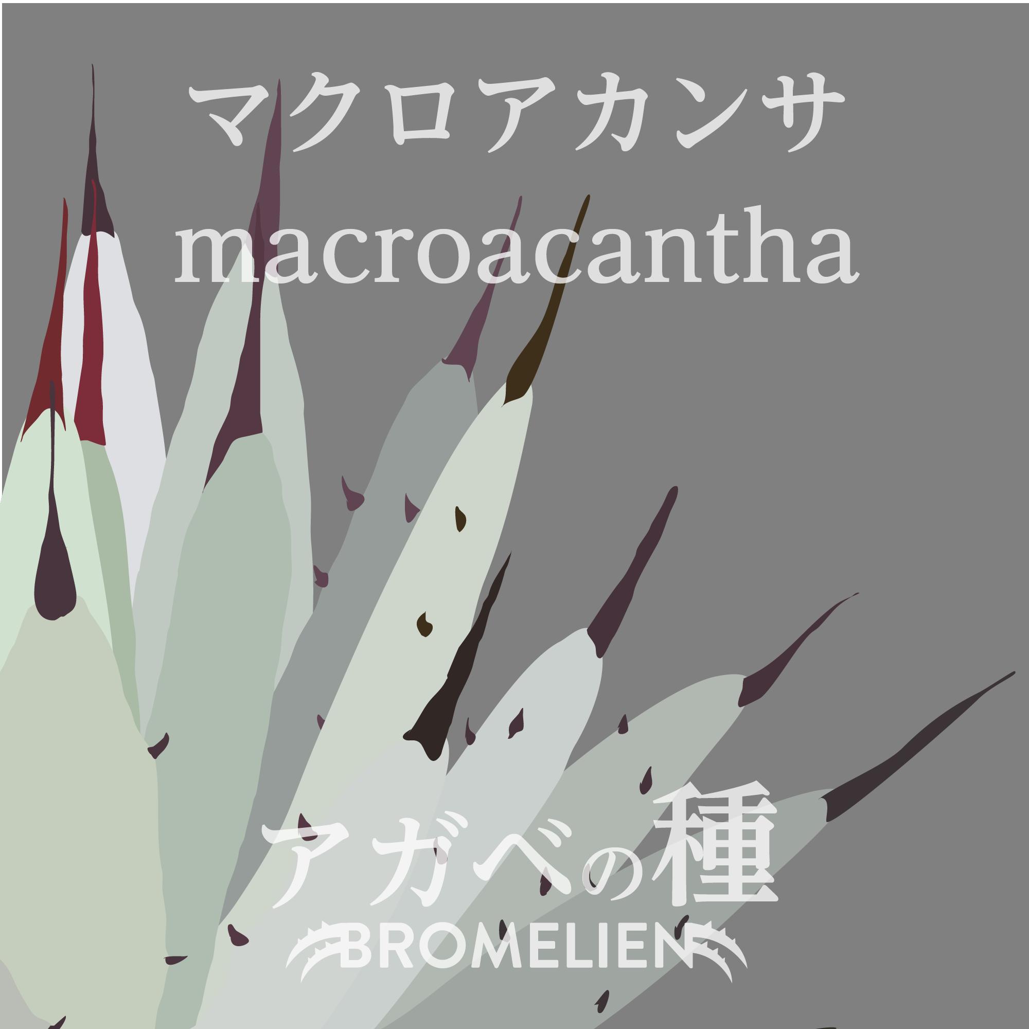 アガベ種子 マクロアカンサ macroacantha 20個