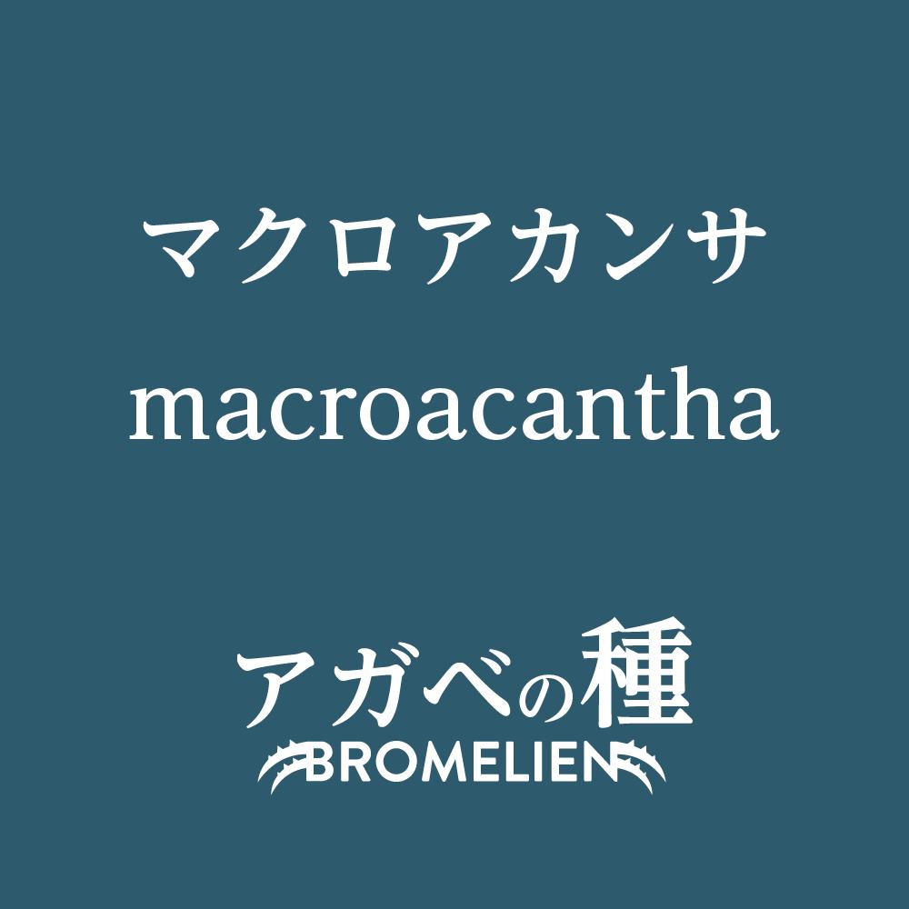 アガベ種子 マクロアカンサ macroacantha 10粒