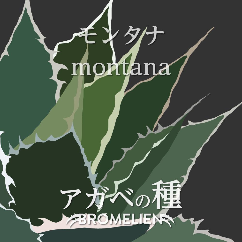 アガベ種子 モンタナ montana 20個