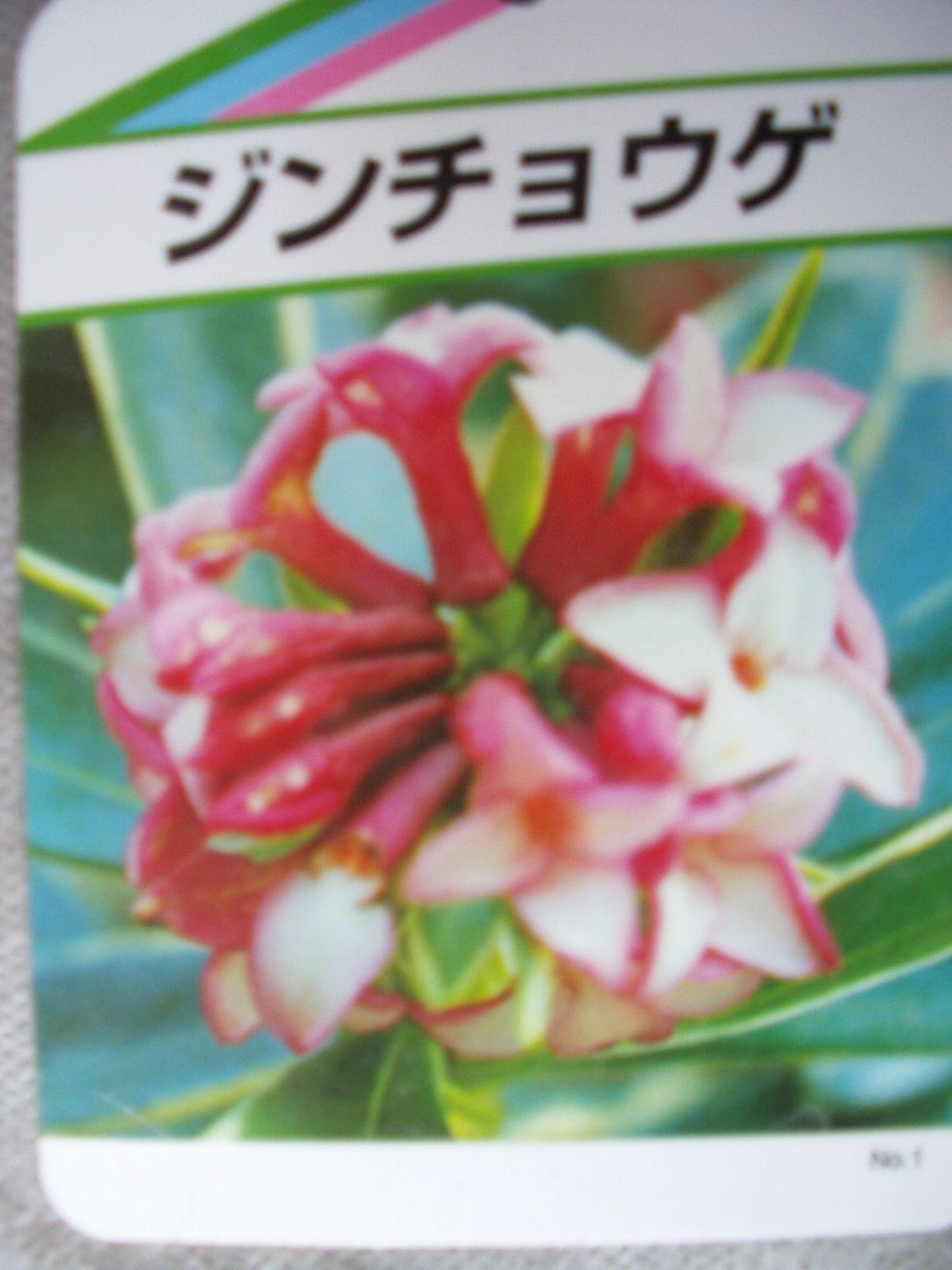 ジンチョウゲ 苗木
