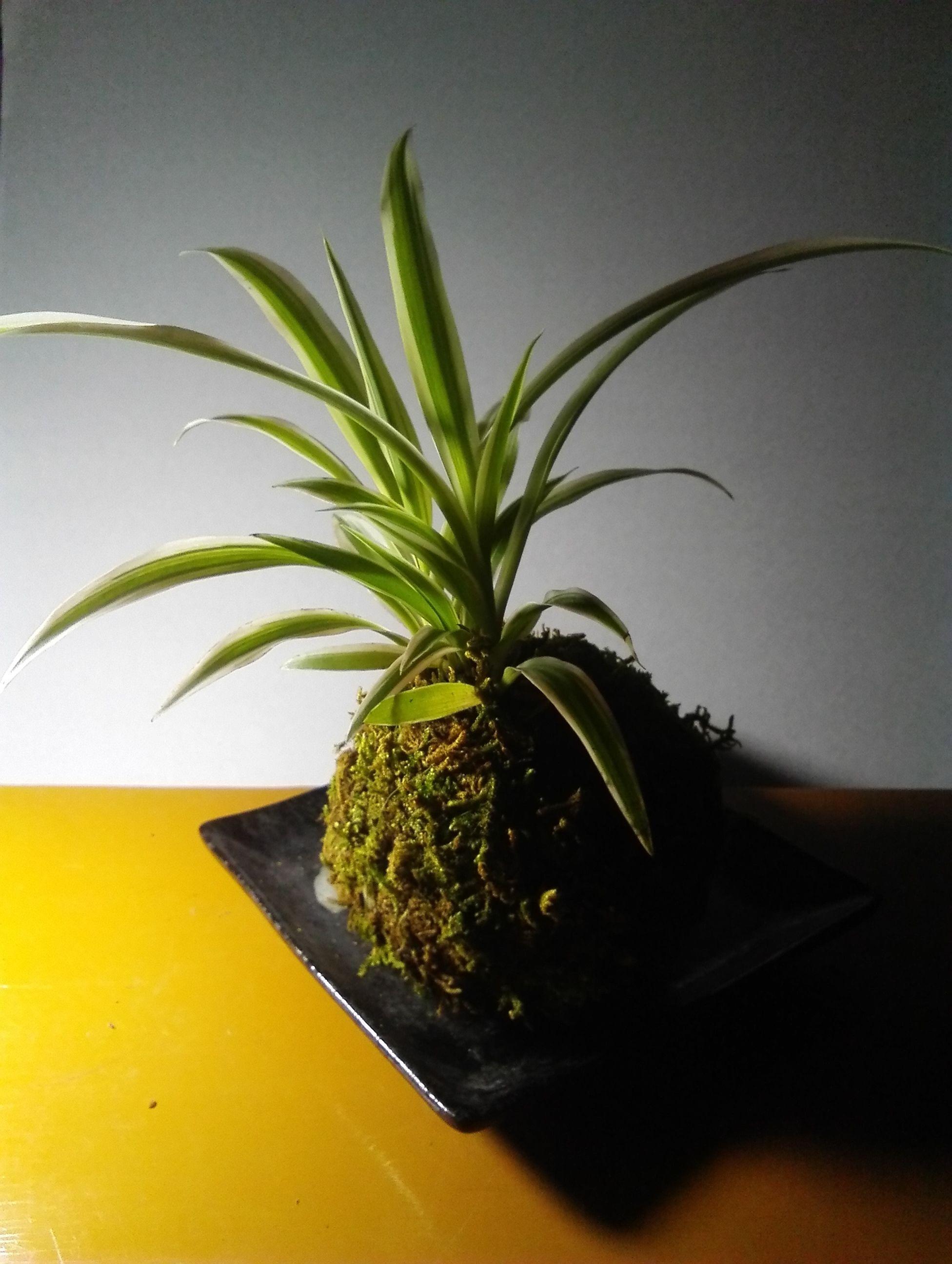 苔玉オリヅルラン