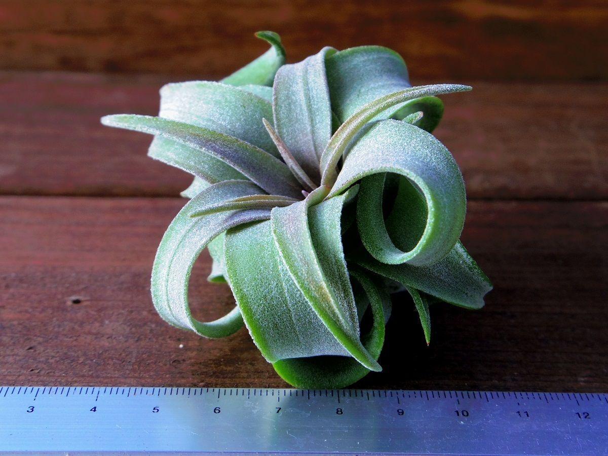 チランジア / ストレプトフィラ Sサイズ (T.streptophylla)