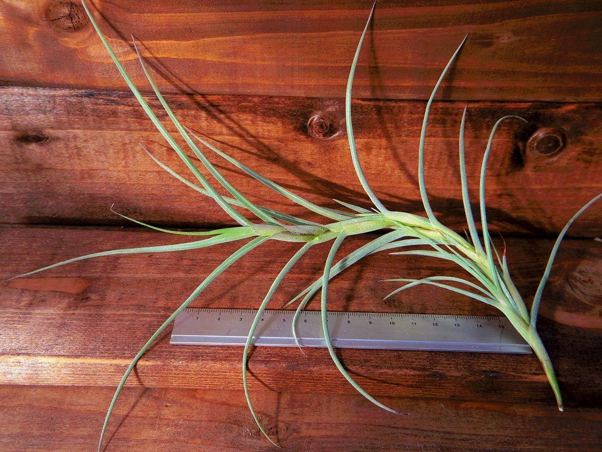 チランジア / クロカータ ジャイアント (T.crocata Giant)