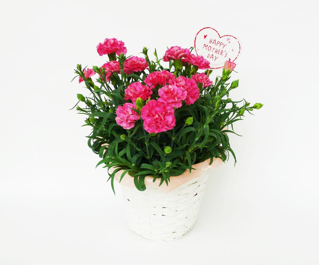 カーネーション鉢植え【pink】