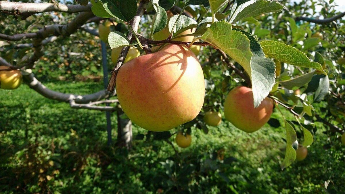【りんご3kg】きたろう