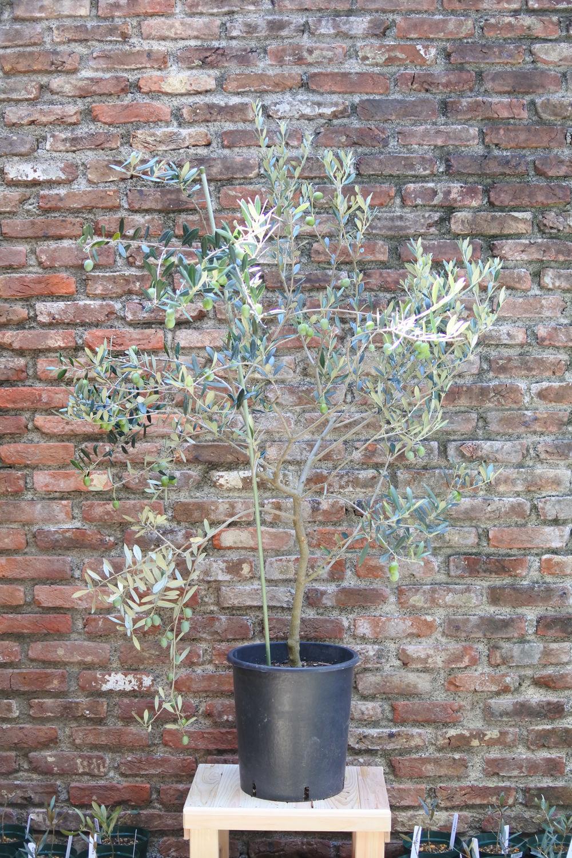 UC13A6 California Queen 9号果樹鉢 no.170805-1