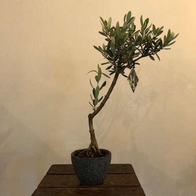 盆栽橄欖樹×芦澤和洋  Lucca no.180620-9