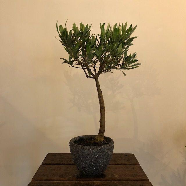 盆栽橄欖樹×芦澤和洋  Nevadillo blanco no.180620-6