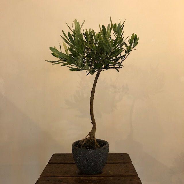 盆栽橄欖樹×芦澤和洋  Nevadillo blanco no.180620-7