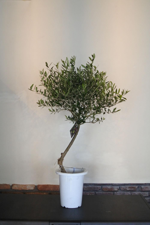 トピアリーNevadillo Blanco 7号鉢 no.180102-2