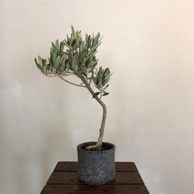 盆栽橄欖樹×芦澤和洋  Mission no.180607-4
