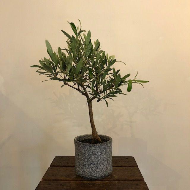 盆栽橄欖樹×芦澤和洋  Nevadillo blanco no.180620-1