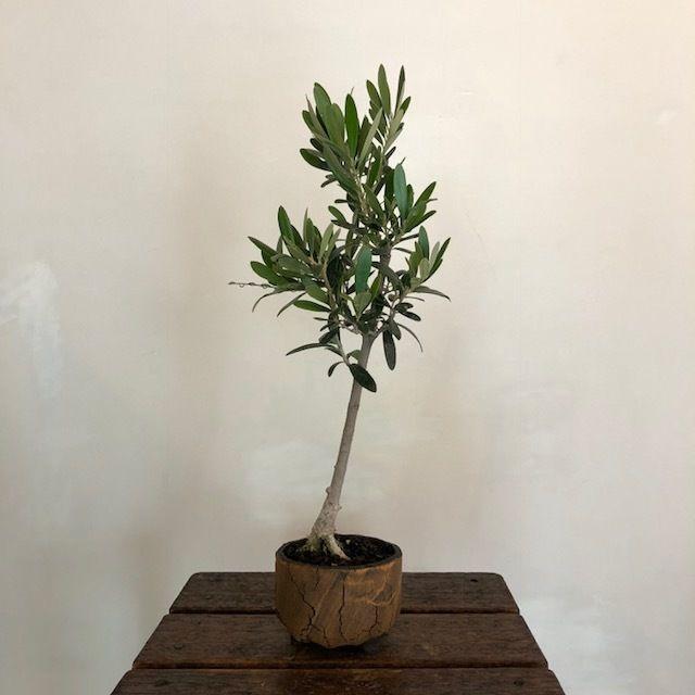 盆栽橄欖樹×和ノ器  Nevadillo Blanco no.180607-6