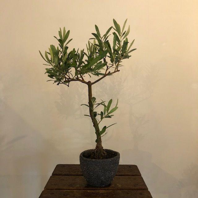 盆栽橄欖樹×芦澤和洋  Nevadillo blanco no.180620-8