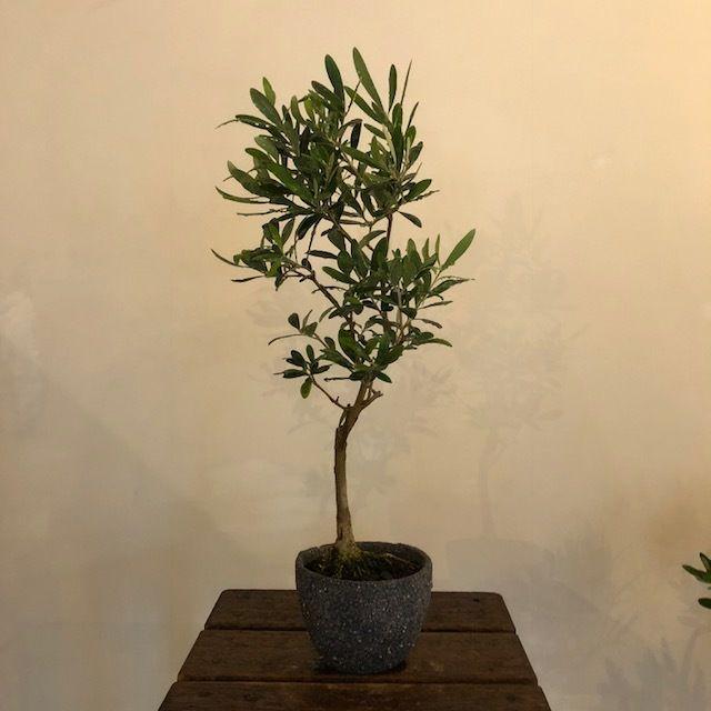 盆栽橄欖樹×芦澤和洋  Nevadillo blanco no.180620-5