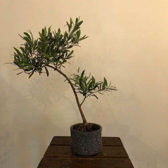 盆栽橄欖樹×芦澤和洋  Nevadillo blanco no.180620-3