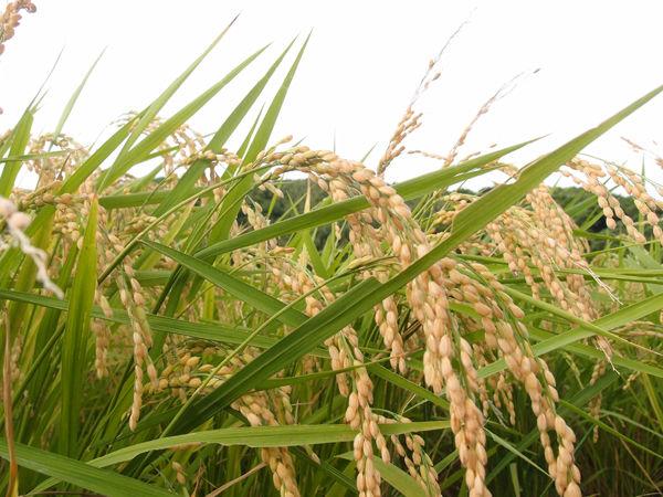 平成30年度 種子島産 新米3kg 送料無料 コシヒカリ 無農薬 無化学肥料栽培 自然乾燥天日干し