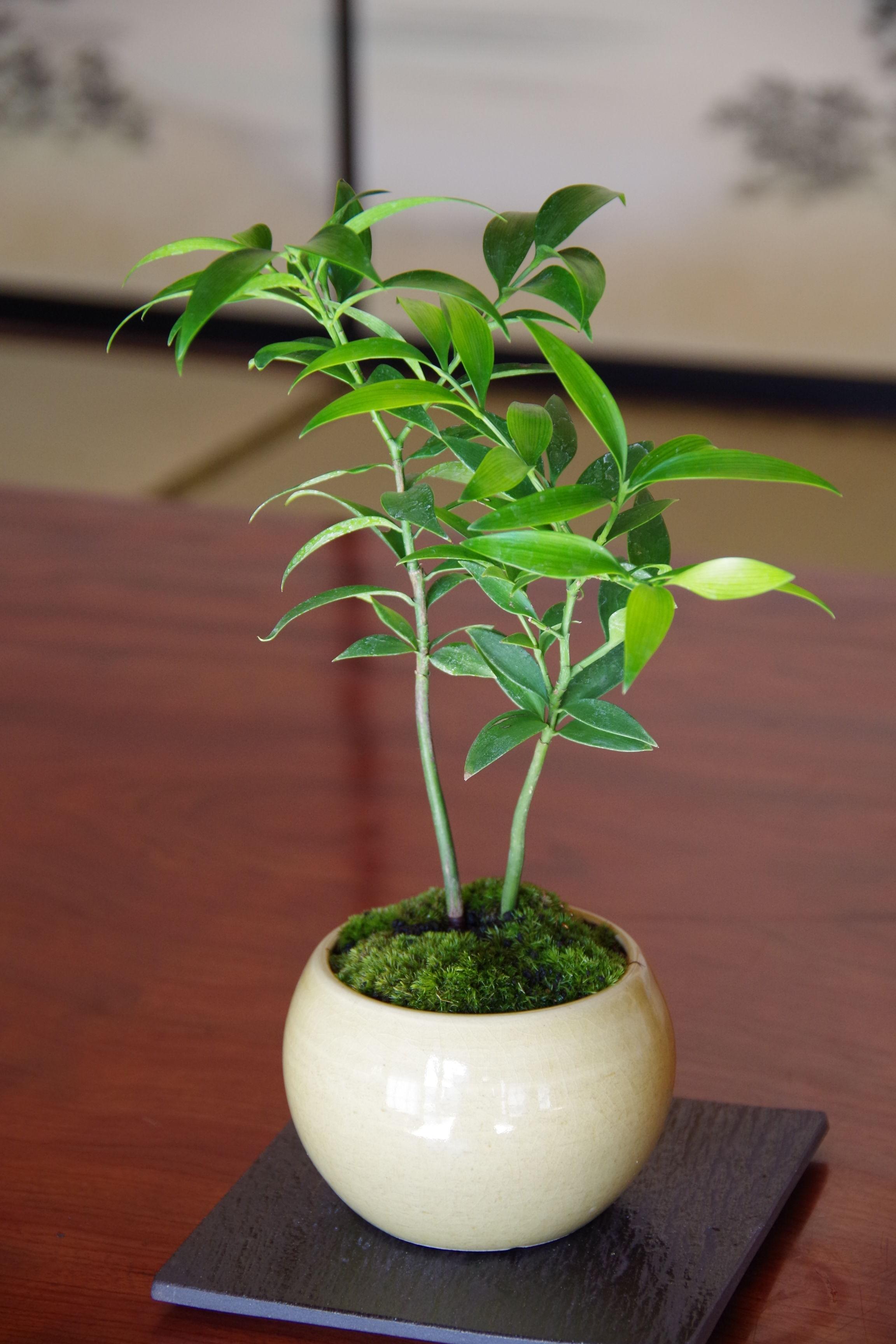 ナギの盆栽