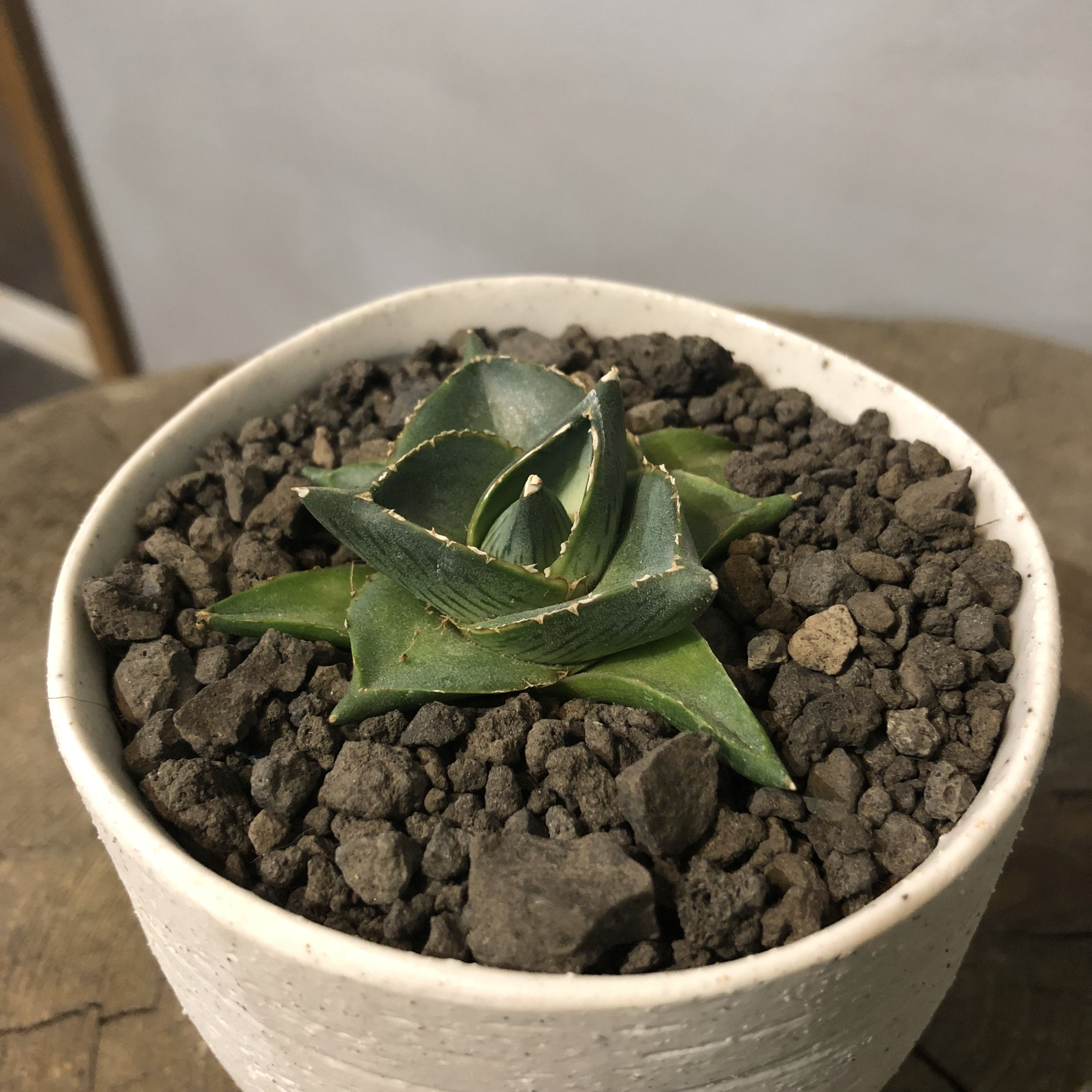アガベ プミラ 和鉢