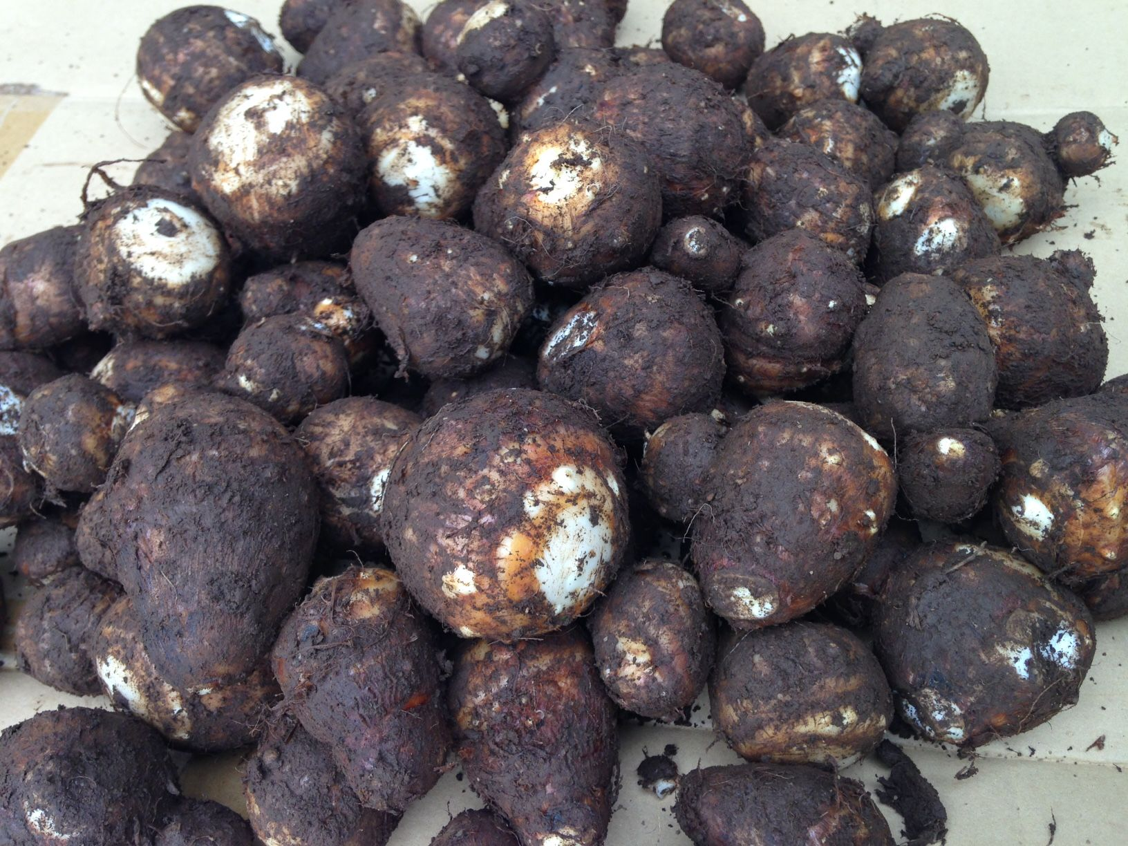 【町田産】農薬・化学肥料不使用 大和里芋 2kg