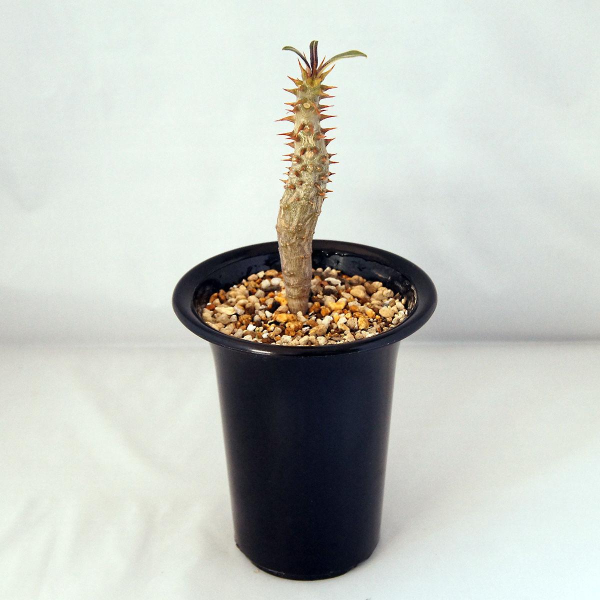 塊根植物 パキポディウム バロニー(Pachypodium baronii)【送料無料】