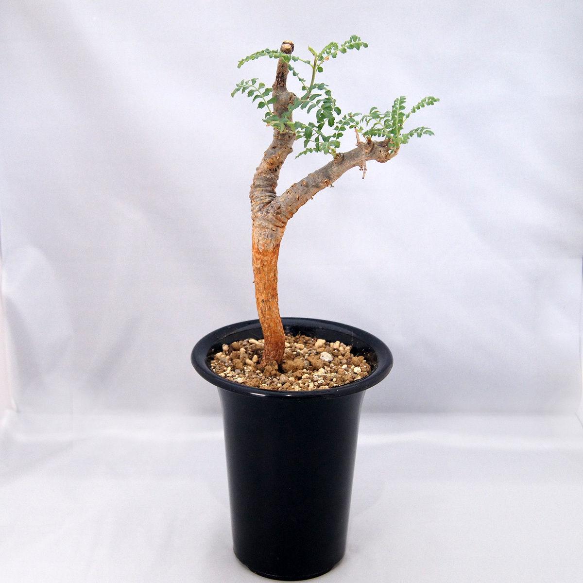 塊根植物 ボスウェリア・ネグレクタ(Boswellia neglecta)【送料無料】  乳香の木
