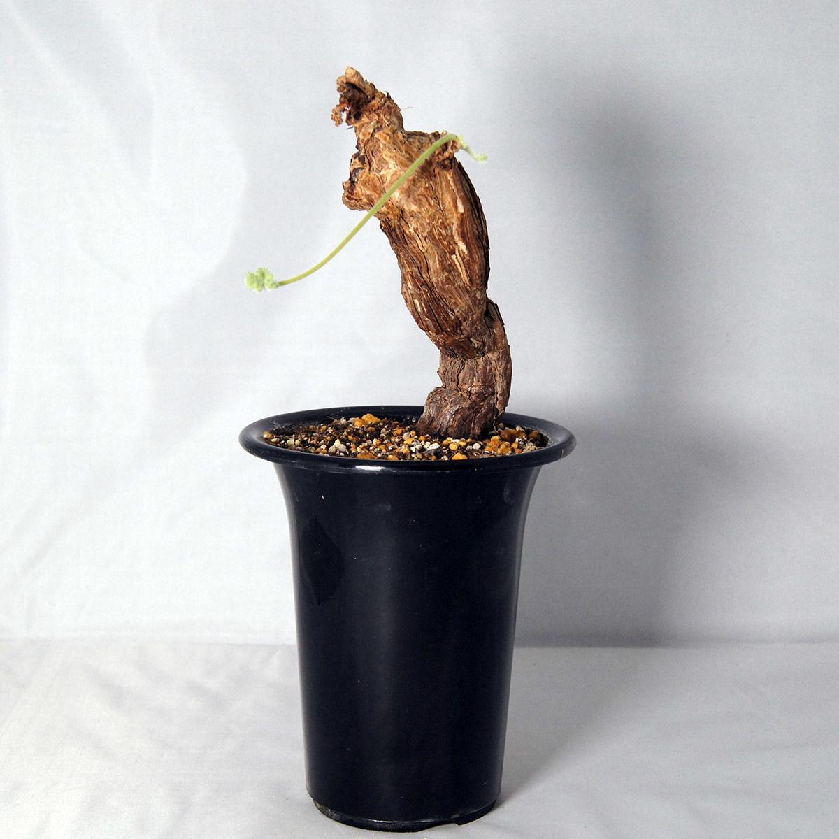 塊根植物 ペラルゴニウム・トリステ(Pelargonium triste)【送料無料】