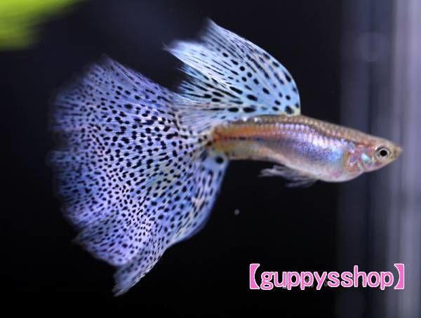 ブルーグラス パープル系 グッピー 熱帯魚 (スワロー系統)
