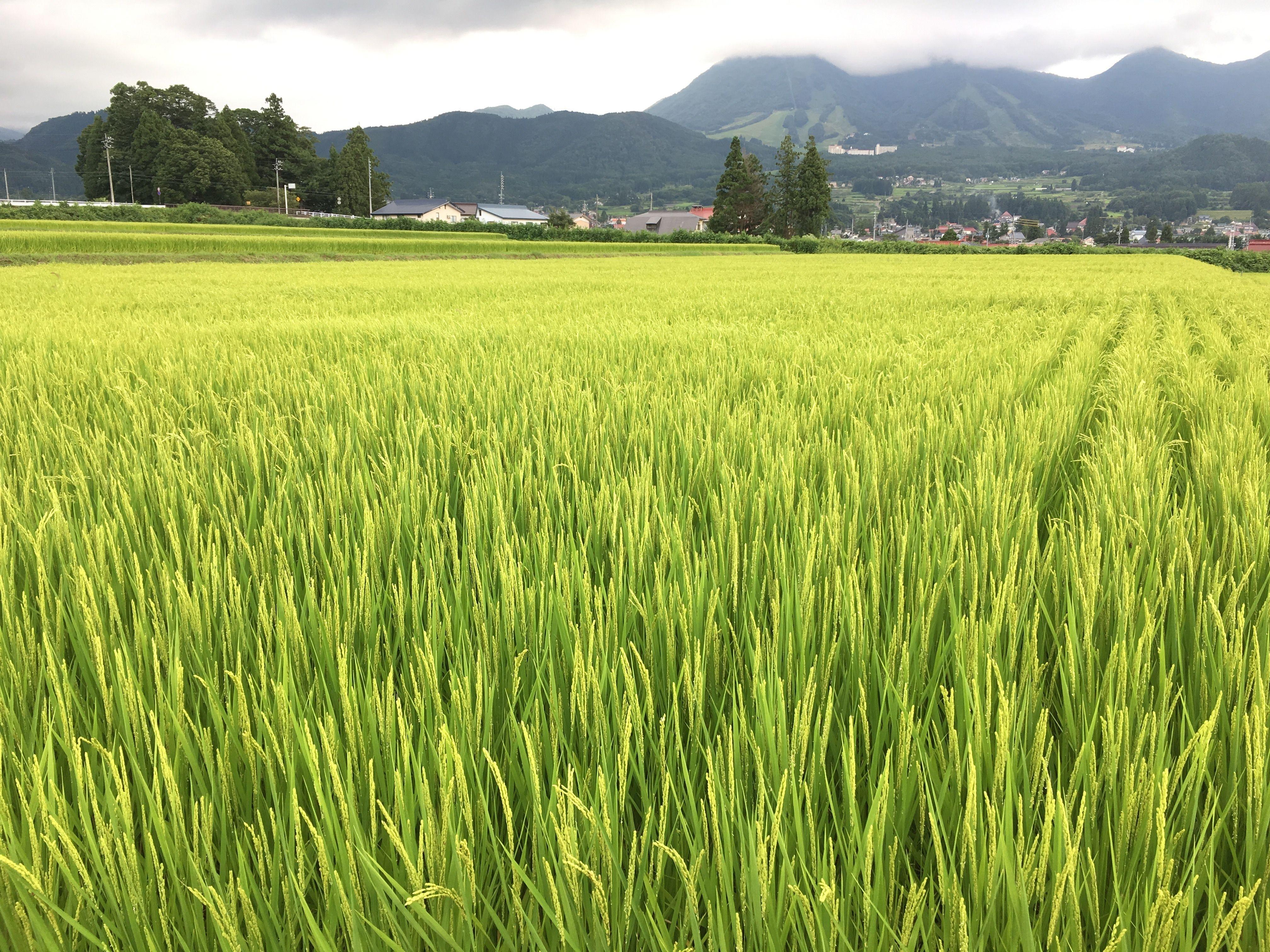 29年度産新米※木島平産こしひかり玄米  30㎏