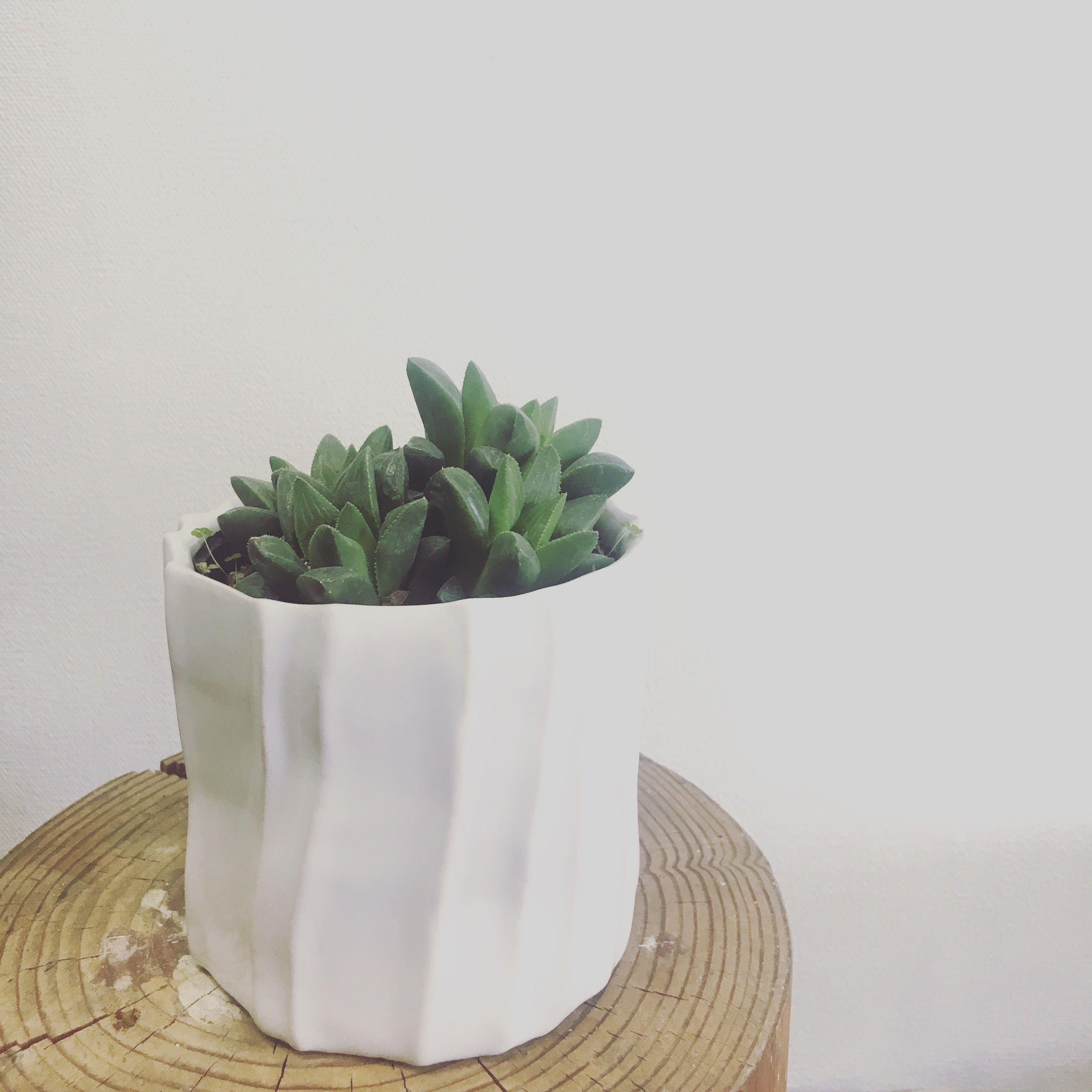 観葉植物 ハオルチア