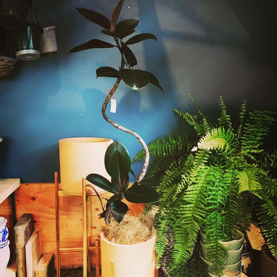 観葉植物 オブジェみたいなフィカスバーガンディ