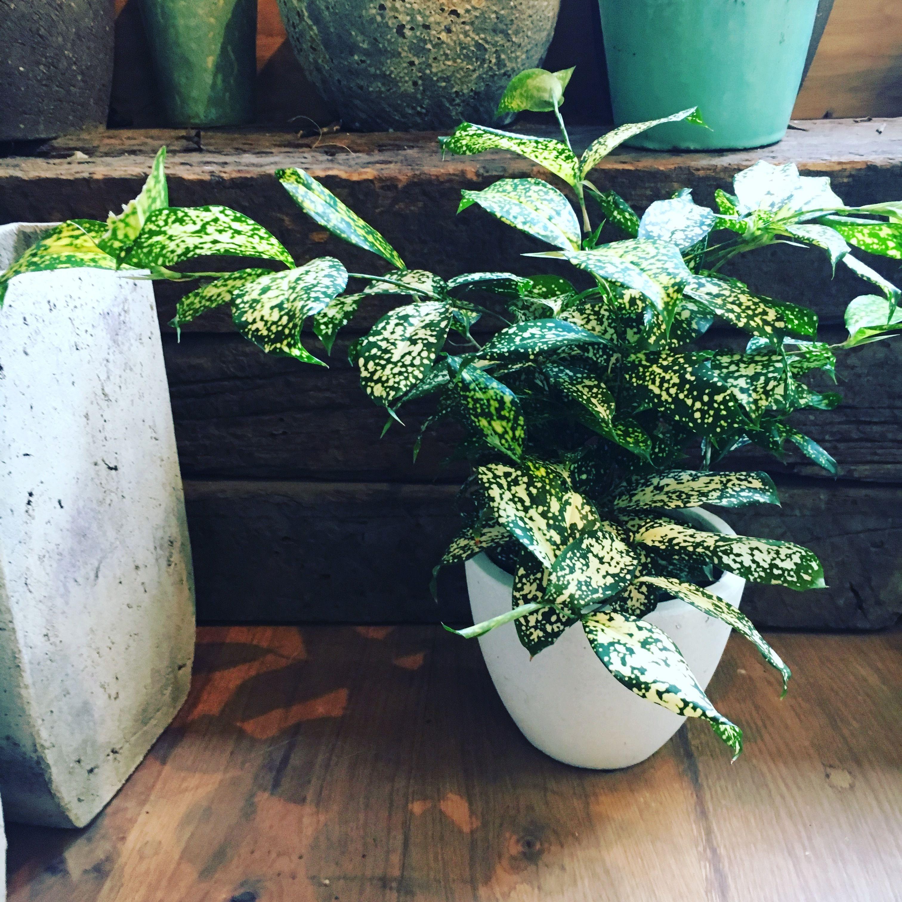 観葉植物 ドラセナゴッドセフィアーナ