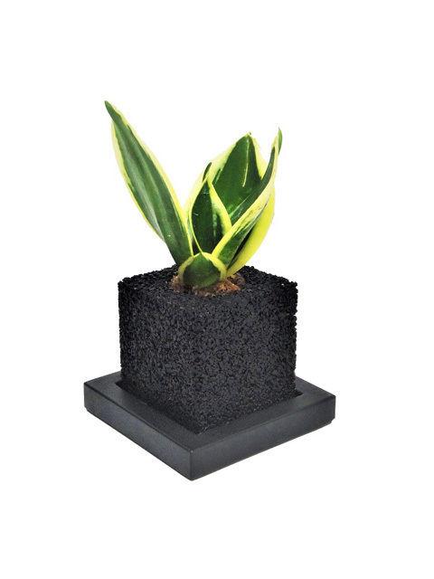 サンスベリア ハニー 空気清浄の木 キューブ・ミニ