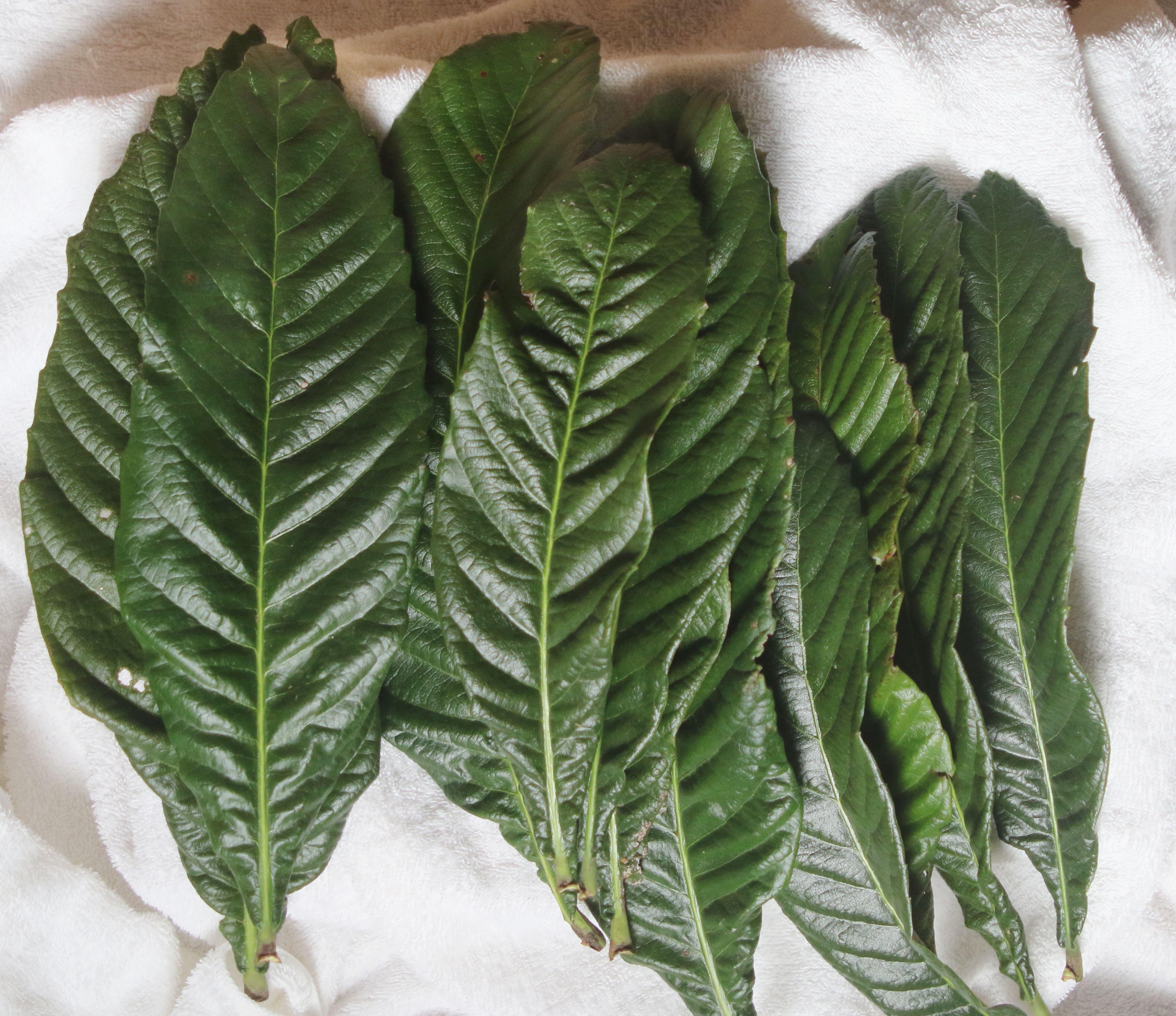 びわの 生葉         「 びわの葉酒用」 20枚  サイズ 中 (150~200g)