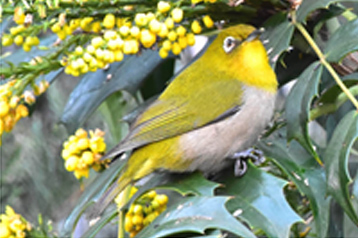 Warbling white eye