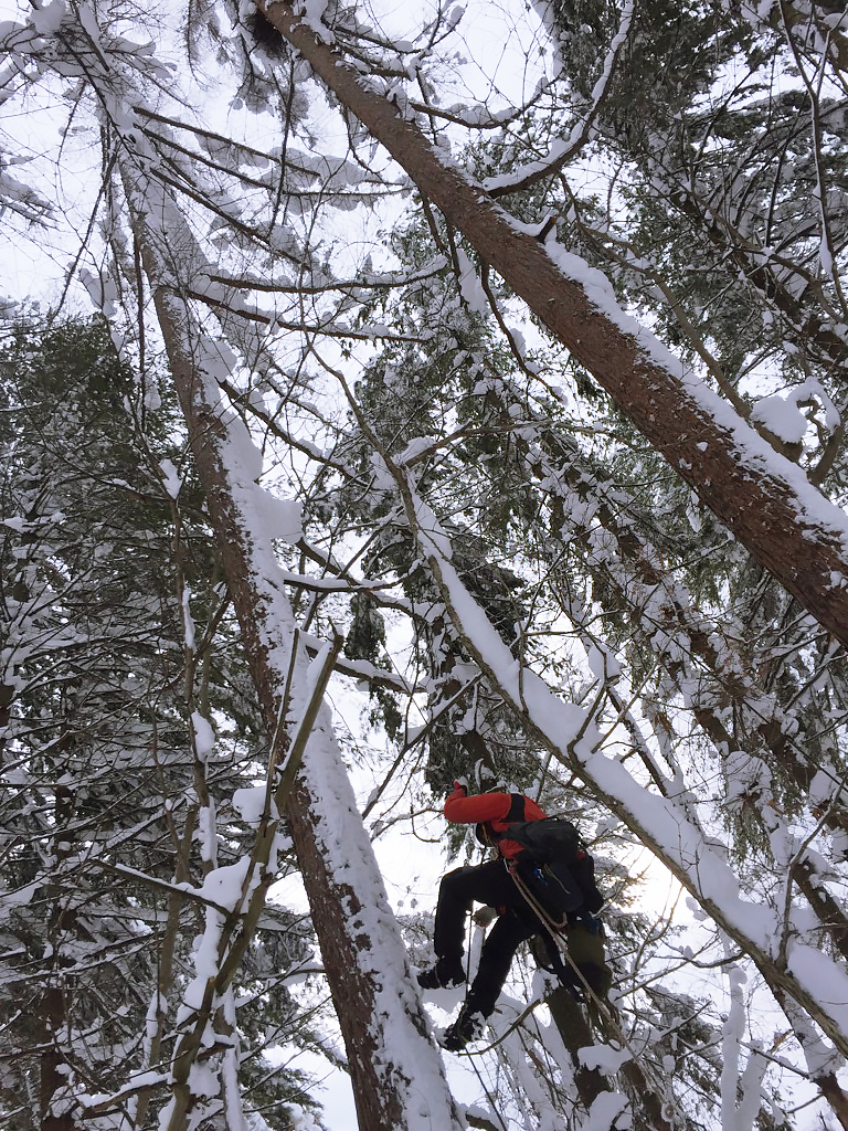 「北海道クマタカ研究会」の方々が、木を登ってクマタカの巣内を調査する様子